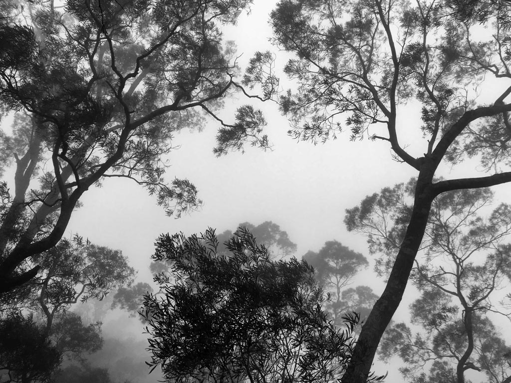 Looking up at the trees in the fog/clouds