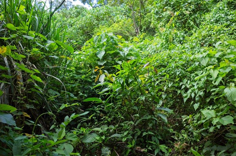 Jungle - overgrowth - tall